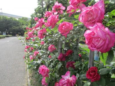番の州公園バラ祭り
