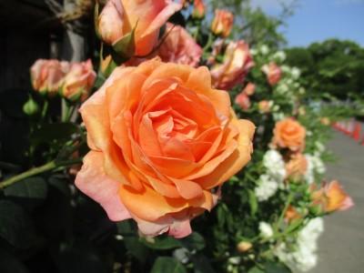 第5回バラ祭り